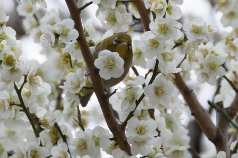 Yushima_tenjin_plum_blossom_fest_58