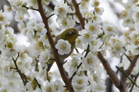 Yushima_tenjin_plum_blossom_fest_59