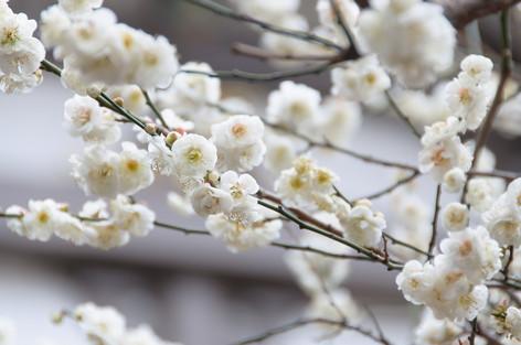 Yushima_tenjin_plum_blossom_festi_4