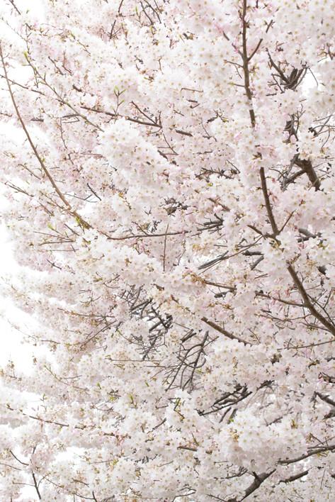 Cherry_blossom_20130323_01