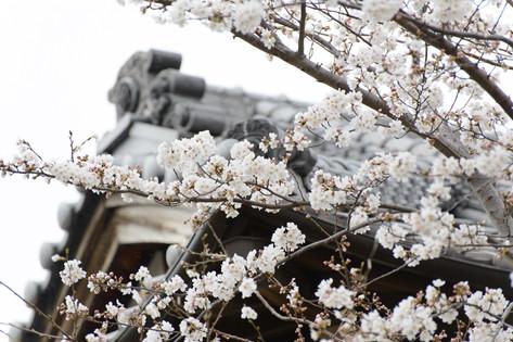 Cherry_blossom_20130323_02