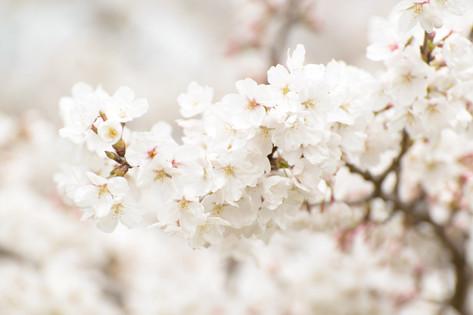 Cherry_blossom_20130323_03