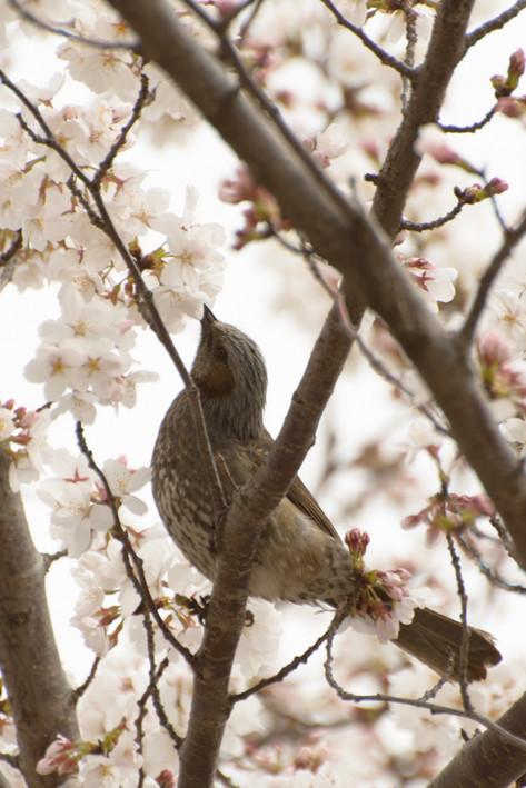 Cherry_blossom_20130323_04