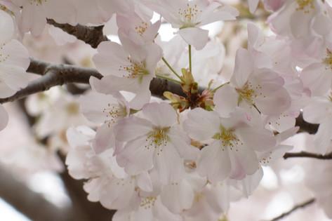 Cherry_blossom_20130323_05