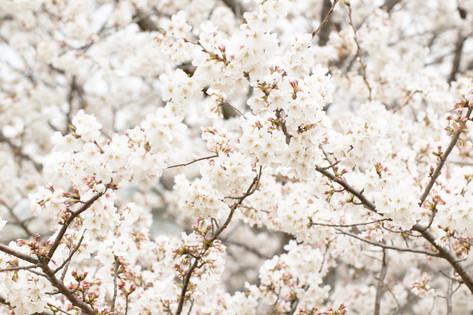 Cherry_blossom_20130323_06