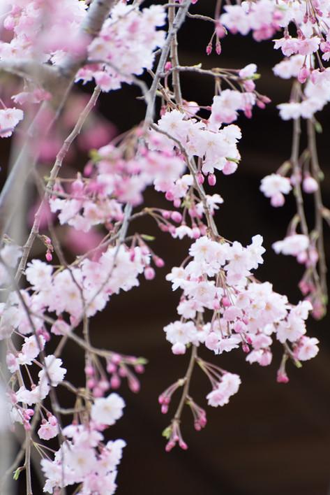 Cherry_blossom_20130323_07