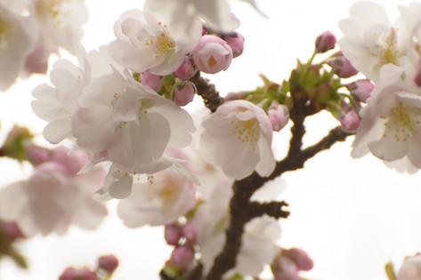 Cherry_blossom_20130323_08