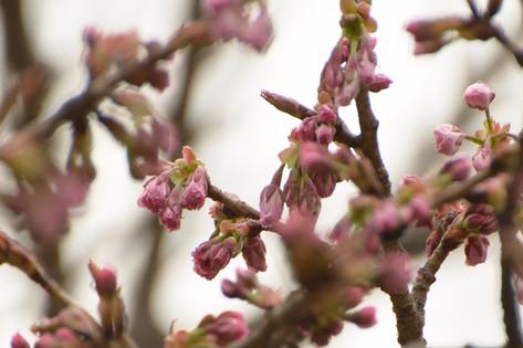 Cherry_blossom_20130323_09