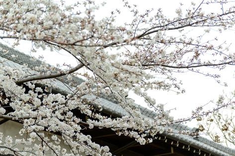 Cherry_blossom_20130323_10