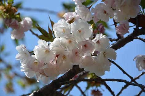 Cherry_blossom_20130413_01