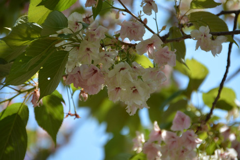 Cherry_blossom_20130413_02