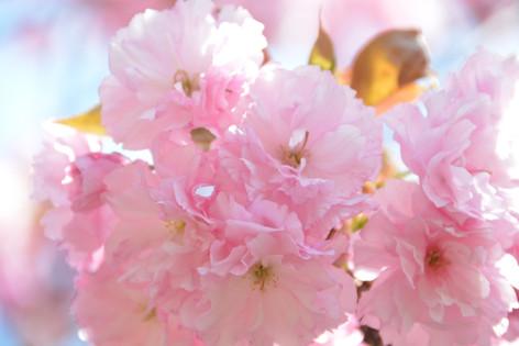Cherry_blossom_20130413_04
