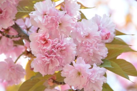 Cherry_blossom_20130413_05
