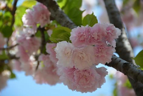 Cherry_blossom_20130413_06