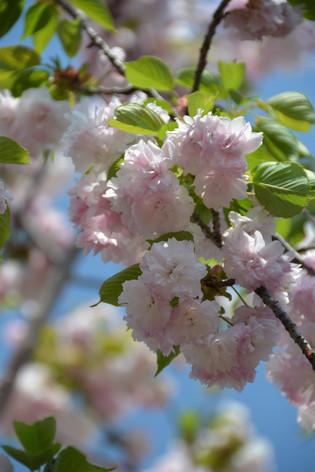 Cherry_blossom_20130413_07