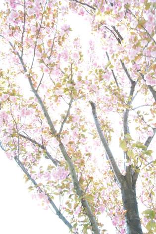 Cherry_blossom_20130413_09