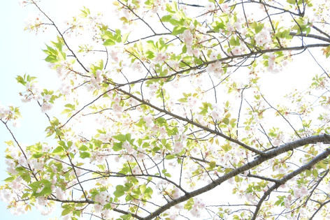Cherry_blossom_20130413_10