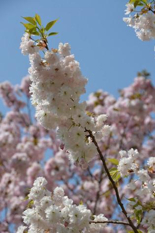Cherry_blossom_20130413_12