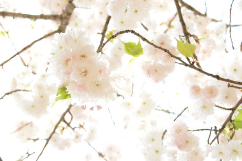 Cherry_blossom_20130413_13