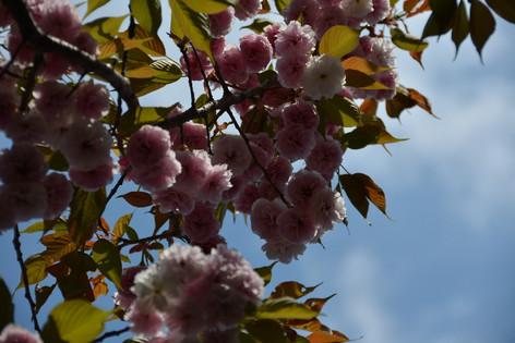 Cherry_blossom_20130413_14