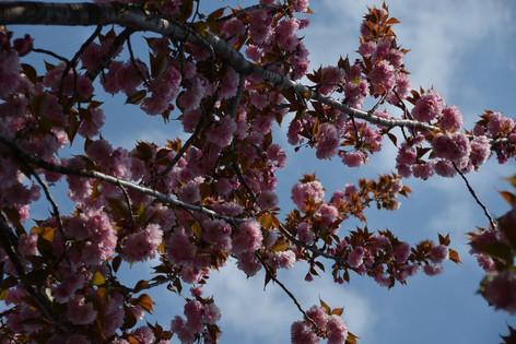Cherry_blossom_20130413_15