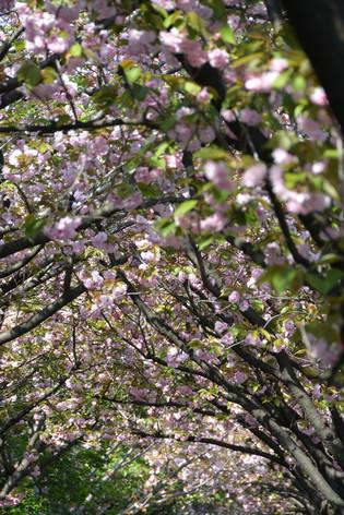 Cherry_blossom_20130413_17