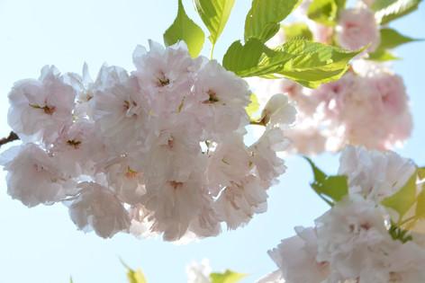 Cherry_blossom_20130413_18