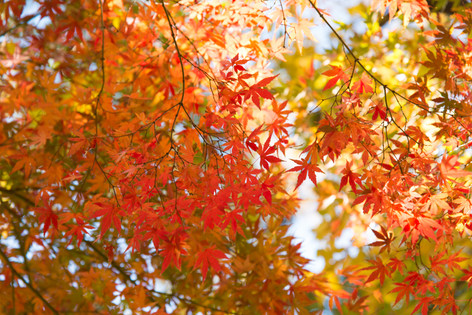 2013_autumnal_leaves_03
