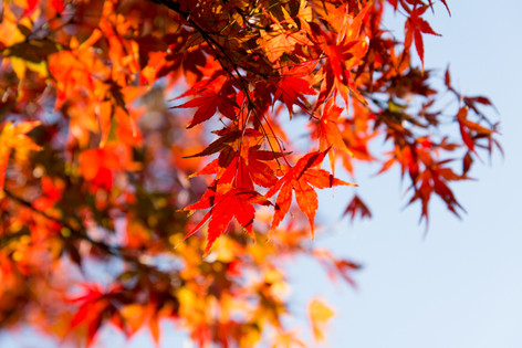 2013_autumnal_leaves_05