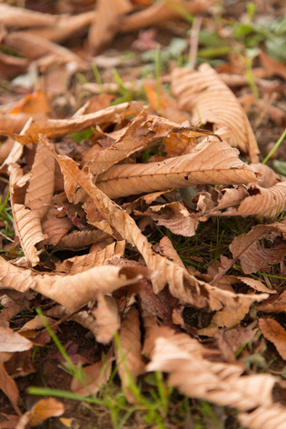 2013_autumnal_leaves_15