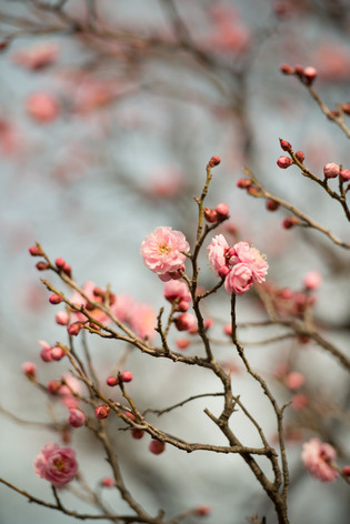The_ume_blossoms_2014_02