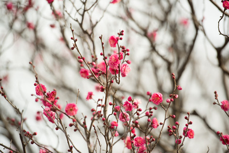 The_ume_blossoms_2014_04