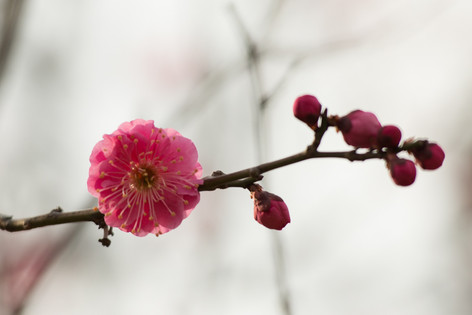 The_ume_blossoms_2014_05