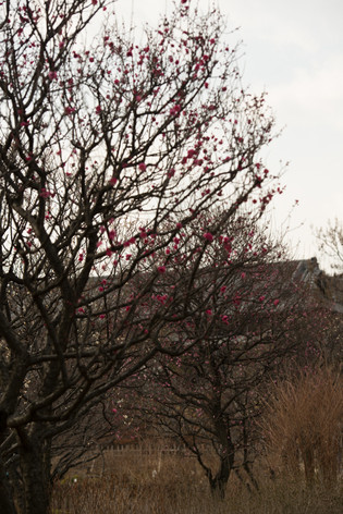The_ume_blossoms_2014_06