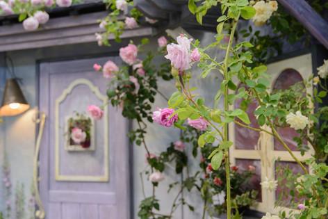 International_roses_gardening_sh_11