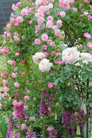 International_roses_gardening_sh_22