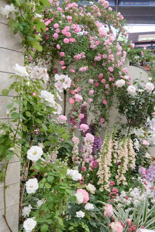 International_roses_gardening_sh_26