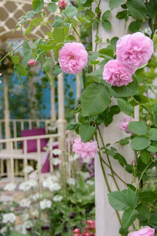 International_roses_gardening_sh_31