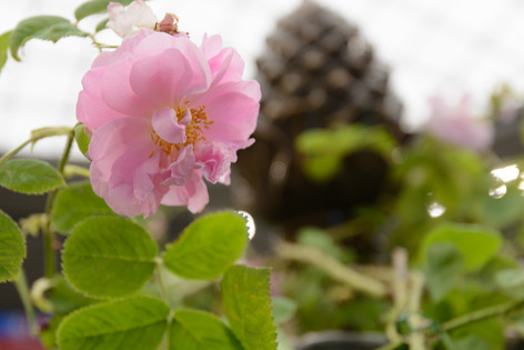 International_roses_gardening_sh_33