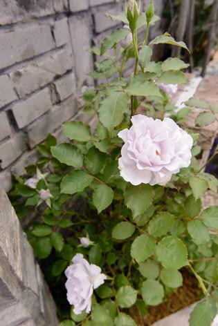 International_roses_gardening_sh_42