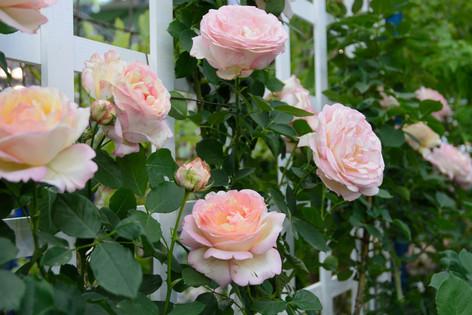 International_roses_gardening_sh_45