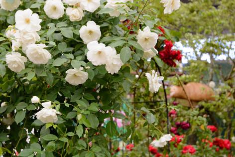 International_roses_gardening_sh_49