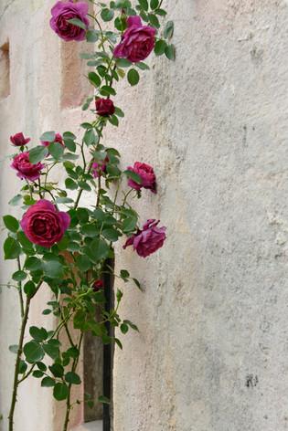 International_roses_gardening_sh_50