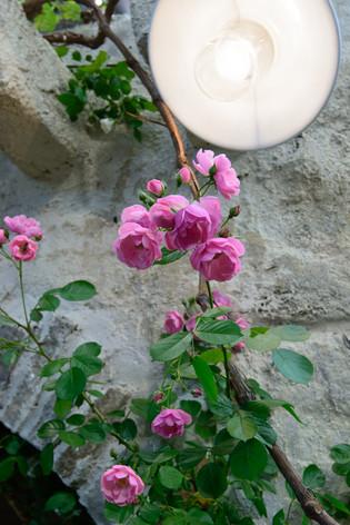 International_roses_gardening_sh_51