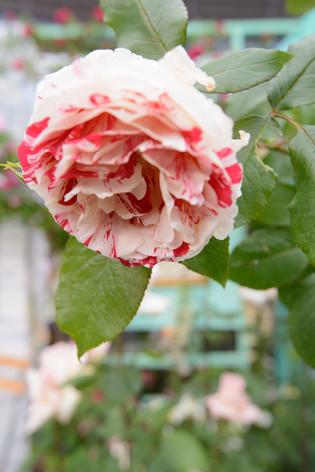 International_roses_gardening_sh_52