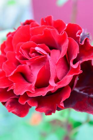 International_roses_gardening_sh_53