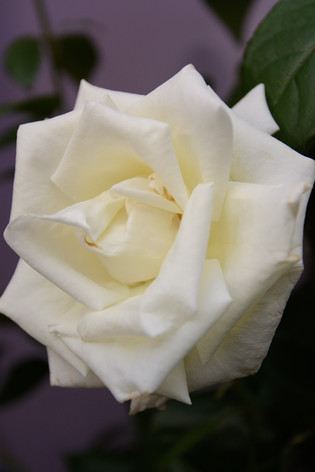 International_roses_gardening_sh_54