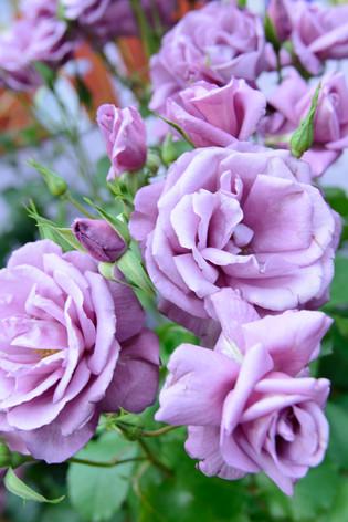 International_roses_gardening_sh_55
