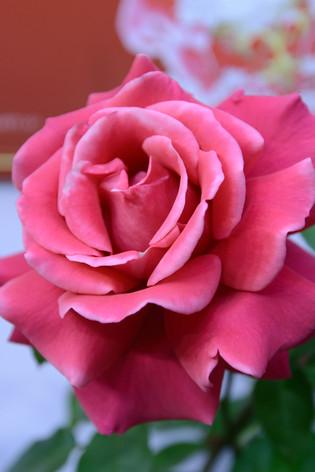 International_roses_gardening_sh_56