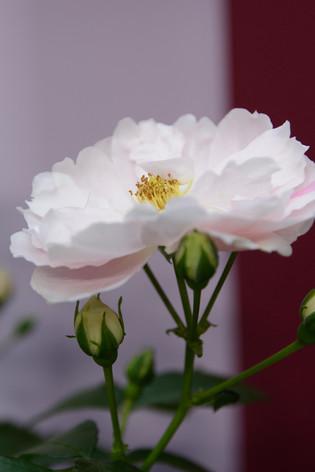 International_roses_gardening_sh_57